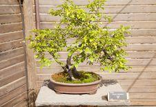 Free Prunus Domestica Royalty Free Stock Photo - 24839565