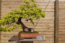 Free Quercus Humilis Royalty Free Stock Photos - 24839608