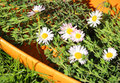 Free Daisy And Thyme Stock Photo - 24840390