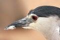 Free Black-crowned Night Heron. Portrait Royalty Free Stock Image - 24843466