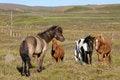 Free Icelandic Horses. Royalty Free Stock Photography - 24848427