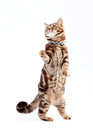 Free British Cat Chocolate Marble Royalty Free Stock Photography - 24848717