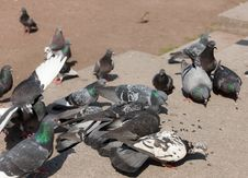 Free Flock Of Pigeons Royalty Free Stock Image - 24840736
