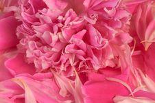 Free Peony Pink Background Stock Image - 24841541