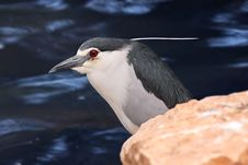 Free Black-crowned Night Heron Stock Photography - 24843452