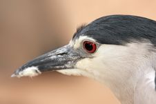 Free Black-crowned Night Heron. Portrait Royalty Free Stock Image - 24843466