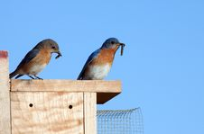Free Eastern Bluebirds With Food Stock Images - 24844854