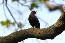 Free Blackbird In Habitat Stock Image - 24845651