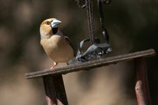 Free Grosbeak On Bird S Feeder Royalty Free Stock Images - 24845669