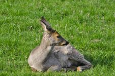 Free Female Of A Deer On A Grass Royalty Free Stock Photos - 24847648