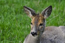 Free Female Of A Deer On A Grass Royalty Free Stock Photos - 24847658