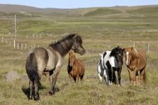 Free Icelandic Horses. Royalty Free Stock Photography - 24848427