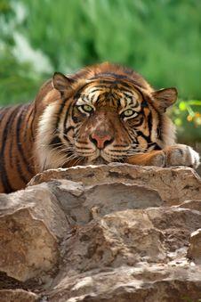 Free Tiger Royalty Free Stock Photos - 24848528