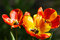 Free Tulips On Flowerbed Stock Image - 24845691