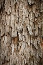 Free Bark Of Rain Tree - Highly Detailed Photograph Stock Images - 24851284