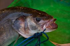 Free Fresh Fish Royalty Free Stock Image - 24851806