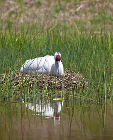Whooping Crane Royalty Free Stock Photography