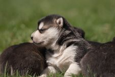 Free Three Weeks Old Alaskan Malamute 2 Stock Images - 24852934