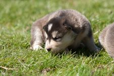 Free Alaskan Malamute Puppy 3 Royalty Free Stock Photos - 24852958