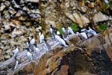 Free Guillemots Royalty Free Stock Photos - 24853418