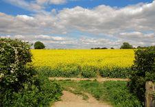 Free Field Of Yellow Rapeseed Stock Photo - 24856270