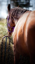 Free Horse View From Backside With Focus On Face Royalty Free Stock Photos - 24863808