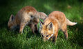 Free Fox Pups In Field Royalty Free Stock Image - 24865016