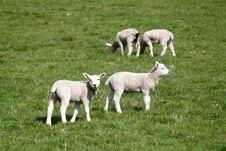 Free Lambs On Pasturage Stock Photo - 24864960