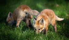 Fox Pups In Field Royalty Free Stock Image