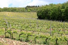 Free Vineyard In Tuscany Royalty Free Stock Photo - 24867125