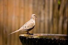 Free Mourning Dove Stock Image - 24868121