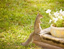 Free Squirrel Royalty Free Stock Images - 24868129