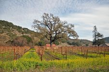 Free Vineyard, Napa Valley Royalty Free Stock Photography - 24869367