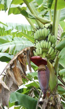 Inflorescence Of Banana. Royalty Free Stock Photo