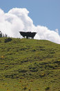 Free Cows On A Mountain Meadow Stock Photography - 24875992