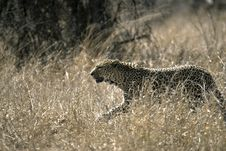 Free Leopard In Grass Stock Image - 24870701