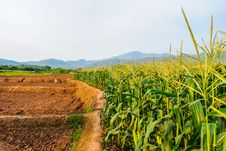 Landscape Of Corn Field Royalty Free Stock Images