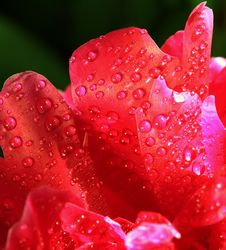 Free Red Petals With Water Drops. Macro Stock Images - 24876044