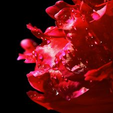Free Red Petals With Water Drops Royalty Free Stock Photos - 24876068