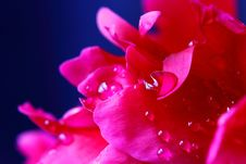 Free Peony Petals With Water Drops. Macro Royalty Free Stock Image - 24876126