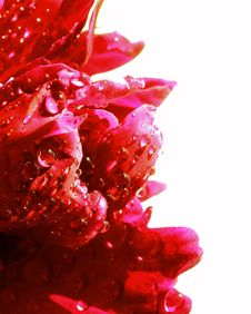 Free Water Drops On Peony Petals. Macro Stock Images - 24876194