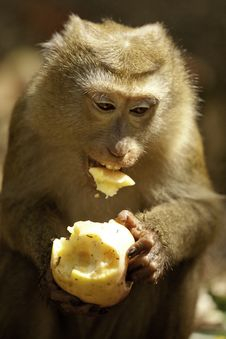Free Wild Monkey Eating Fruit Royalty Free Stock Images - 24877159