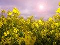 Free Rape Crop Summer Meadow Stock Images - 24880604