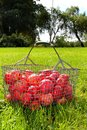 Free Red Apple Basket Royalty Free Stock Photo - 24880905