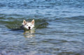 Free Dog Swims Royalty Free Stock Images - 24881159