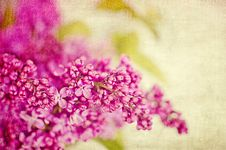 Free Lilacs Royalty Free Stock Images - 24883559
