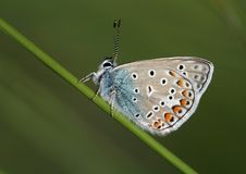 Free Blue Butterfly Royalty Free Stock Images - 24885239