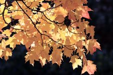 Free Maple Leaves Stock Photography - 24885662