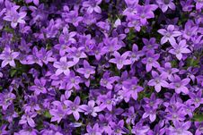Free Bell-flowers As A Background Royalty Free Stock Image - 24888646