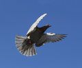 Free Pigeon Fly In Tne Blue Sky Royalty Free Stock Photo - 24893355